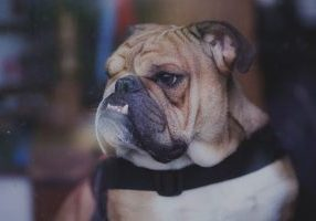 A bulldog - lessons for success without burnout from an unlikely role model